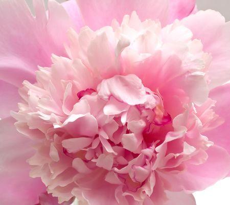 Pink peony flower background. Macro, closeup Stock Photo