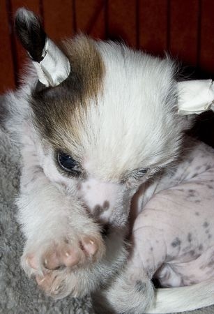 Young white puppy of breed Chinese Crested Dog