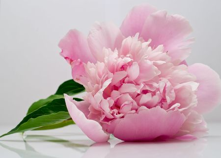 pink peony flower on grey background Stock Photo