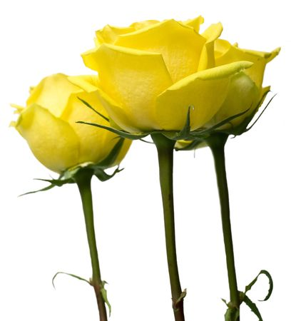 Yellow  roses with green leaves. Isolation on white background. Shallow DOF