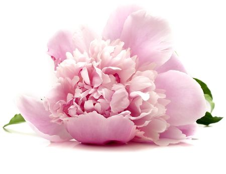 pink peony flower on white background. isolated Stock Photo - 5123165