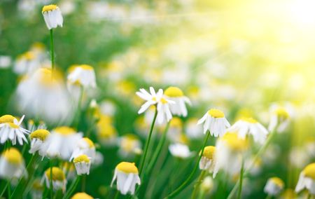 Flowers of a wild chamomile close up. Shallow DOF Stock Photo