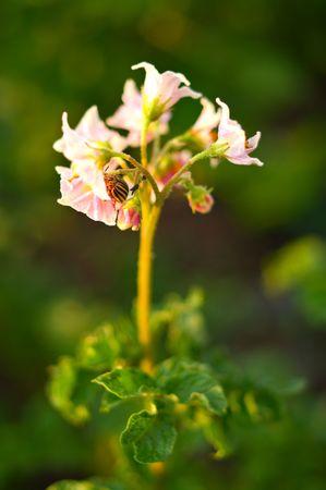 Colorado beetle on potato flowers on green background. Shallow DOF photo