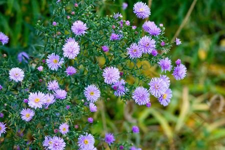 Beautiful lilac asters. A background. Shallow DOF. Stock Photo