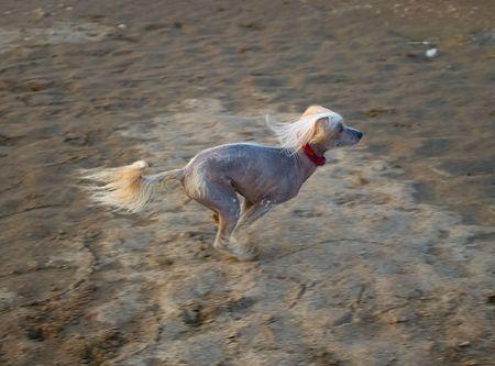Chinese Crested Dog runs on sand. Shallow DOF photo