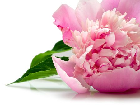 pink peony flower on white background. isolated Stock Photo - 6391188