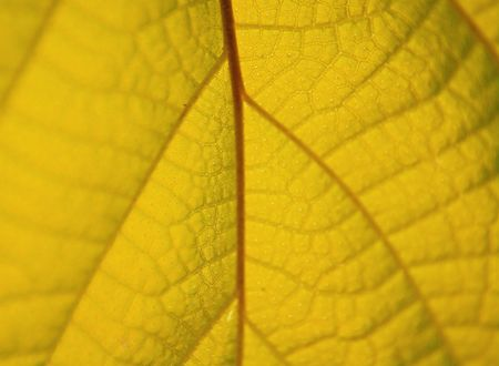 venation: The yellow leaves. Natural background. Shallow DOF