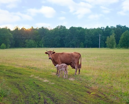 Calf and cow feeding on green grass against summer landscape Stock Photo - 7268532