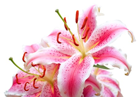 Pink lilies on white background. Shallow DOF