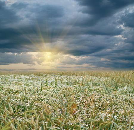 Rye field and sunset on a blue cloudy sky. Natural background  photo