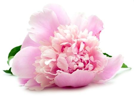 De roze pioen op witte achtergrond. Ondiepe DOF. Isolatie