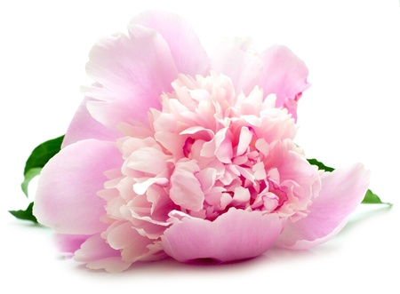 La peonía rosa sobre fondo blanco. DOF superficial. Aislamiento