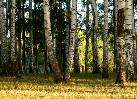 Grove of birch trees at summer evening. Stock Photo