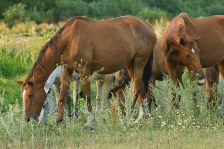 The horses on green meadow at summer evening. Shallow DOF
