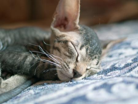 Peterbald sphinx cat sleeping at home Stock Photo
