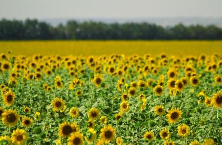 The field of sunflowers at Ukraine. Summer  landscape. Shallow DOF Stock Photo