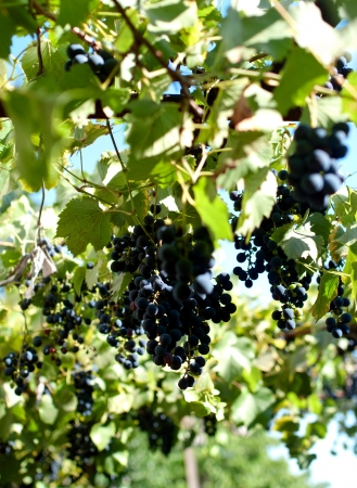 purple red grapes with green leaves on the vine. fresh fruits Stock Photo - 21995952