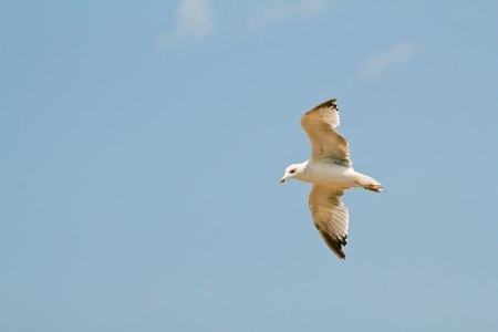 The seagull in flying action with full wings spanned against blue sky. Stock Photo