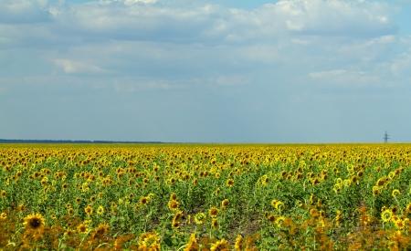 The field of sunflowers in Ukraine. Shallow DOF