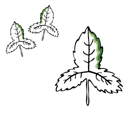 Leaf vector drawing set. Isolated tree leaves. Herbal engraved style illustration. Hand drawn leaf, organic product sketch.