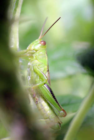 caelifera: Common green grasshopper