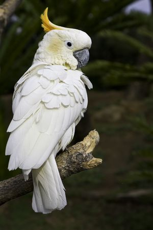 A white cockatoo looking over the shoulder photo