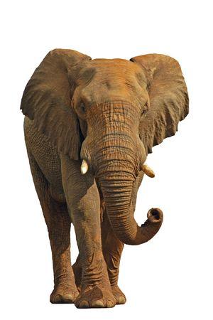 elephant trunk: African elephant isolated on white