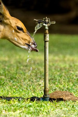 sip: A thirsty animal taking a drink from a sprinkler head