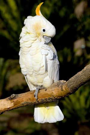 preening: Portrait of a white cockatoo preening while perched on a branch. Perferct for use in pet and animal themes.
