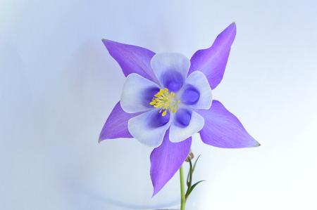 columbine: columbine flower Stock Photo