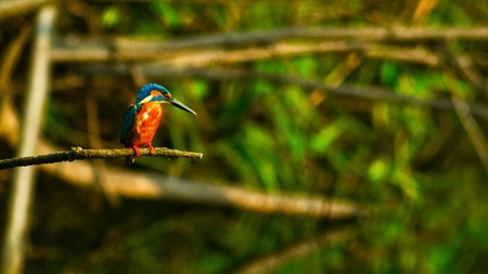 common kingfisher: A Common Kingfisher sitting on a branch