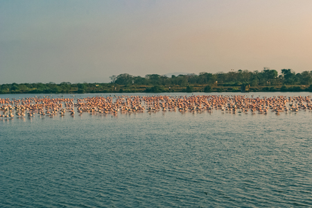 A Bunch of Flamingos Flying and Resting on a Lake in Navi Mumbai, India