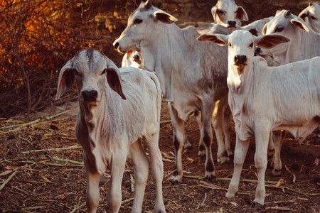 gujarat: Calves at the dairy farm, herd of baby cows at a farm Stock Photo
