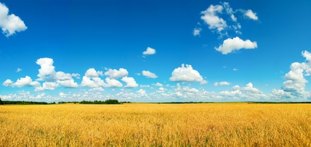 winter wheat: field with harvest