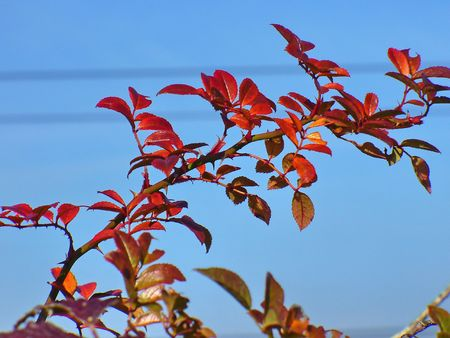 red leafs photo
