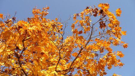 yellows: autumn leafs 2 Stock Photo