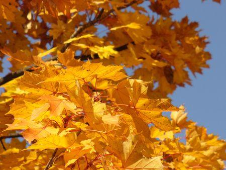 yellows: autumn leafs