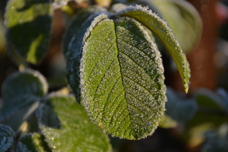 lit green leaf covered with frost