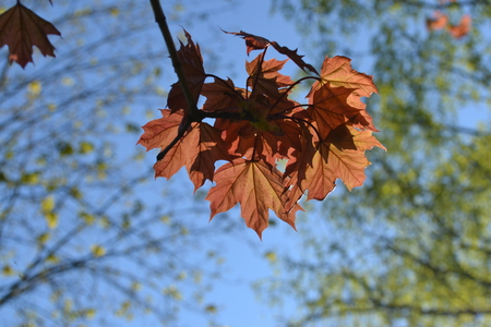 Young red maple leaves against the blue sky illuminated by sunlight in the early morning Фото со стока