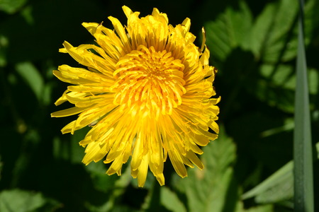 A bright yellow dandelion flower is illuminated by sunlight in the early morning in the park Reklamní fotografie