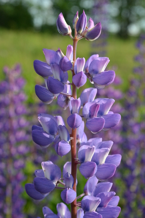 Flower lupine gentle-lilac color brightly illuminated by sunlight in the early morning of summer in the park