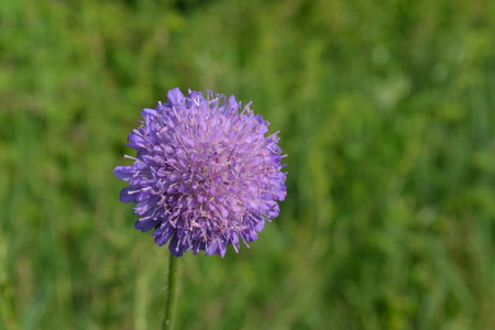 Delicate wild leek flower on the background of green grass in the early morning in the park Reklamní fotografie