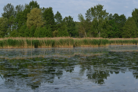 The river overgrown with reeds and water lilies early in the morning in the summer