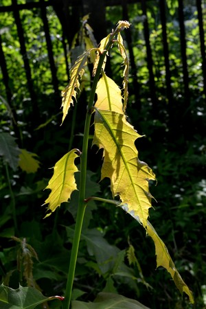 Young oak leaves glow in the sun