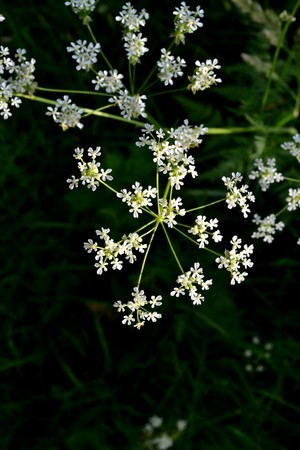 Small white flowers on a background of green grass in the park in the early morning Reklamní fotografie