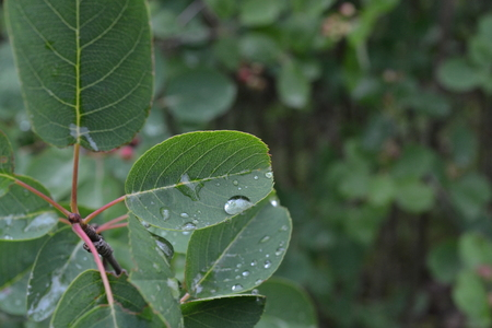 Green bush leaf with raindrops in the summer in the park