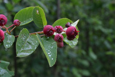 Ripe red berries and green leaves after a rain Reklamní fotografie
