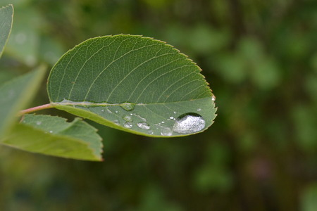 A large drop of water on a carved leaf of a bush after a rain in the early morning