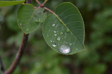 Large drops of water on a carved leaf of a bush after a rain in the early morning Reklamní fotografie