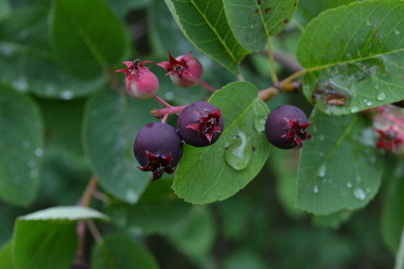 Burgundy berry bushes against the background of green wet leaves after the rain in the early morning